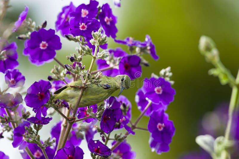 Красно-шагающее cyaneus Honeycreeper Cyanerpes питаясь на цветках стоковая фотография rf