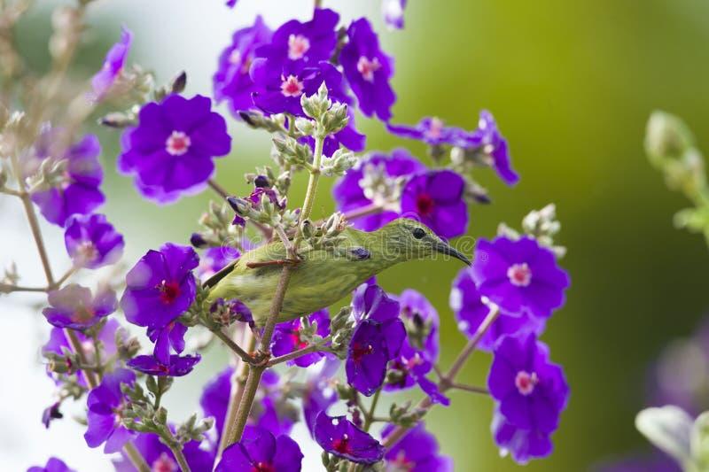 Красно-шагающее cyaneus Honeycreeper Cyanerpes питаясь на цветках стоковое изображение