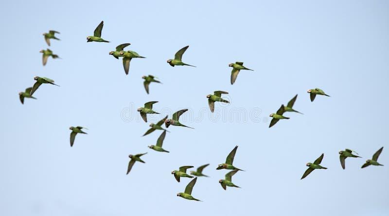 Красно--breasted летание длиннохвостого попугая на голубом небе стоковые фото