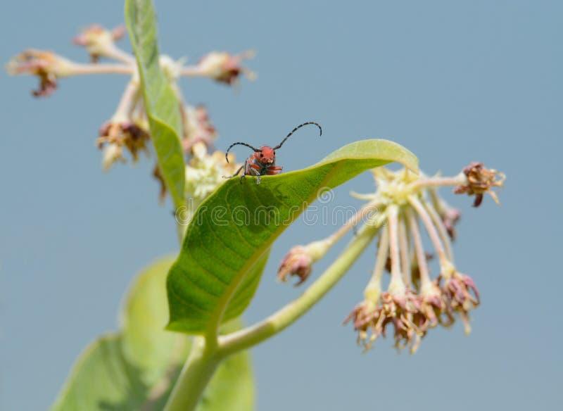 Красно--femured жук сверла Milkweed на milkweed стоковые изображения rf