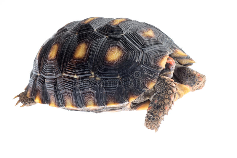 Красно-footed черепаха стоковое изображение rf
