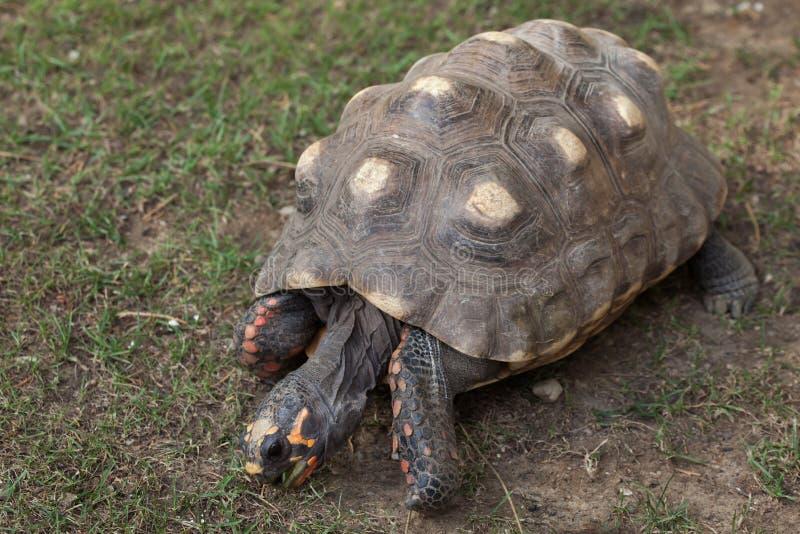 Красно-footed черепаха & x28; Carbonaria& x29 Chelonoidis; стоковое фото