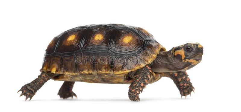 Красно-footed черепахи, carbonaria Chelonoidis стоковые изображения