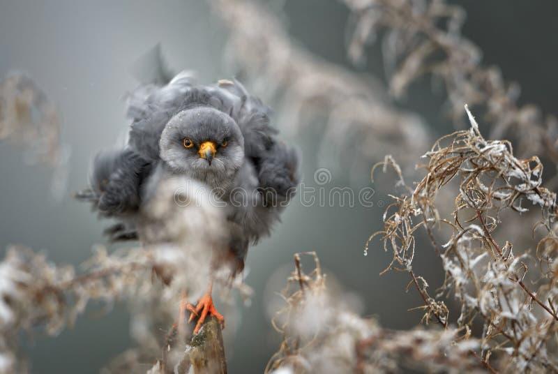 Красно-footed Kestrel - vespertinus Falco стоковые фотографии rf