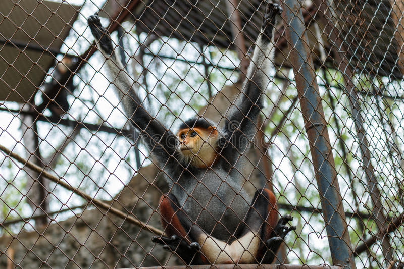 Красно--shanked douc, обезьяна стоковые изображения