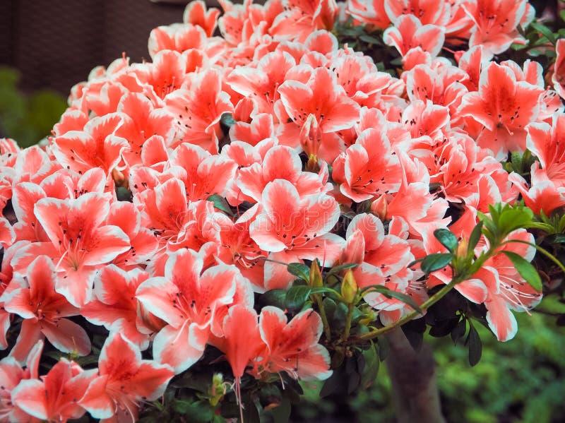 Красные азалии в саде стоковое изображение rf