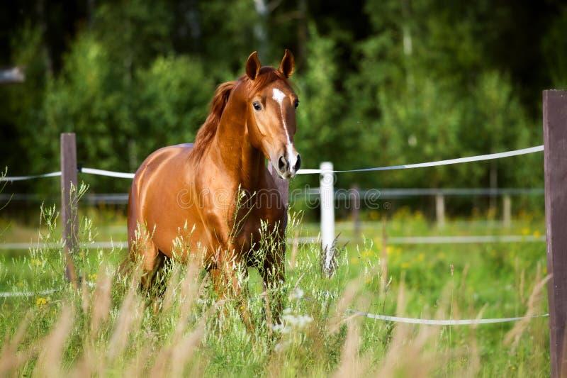 Красные бега лошади идут рысью на предпосылке природы стоковая фотография
