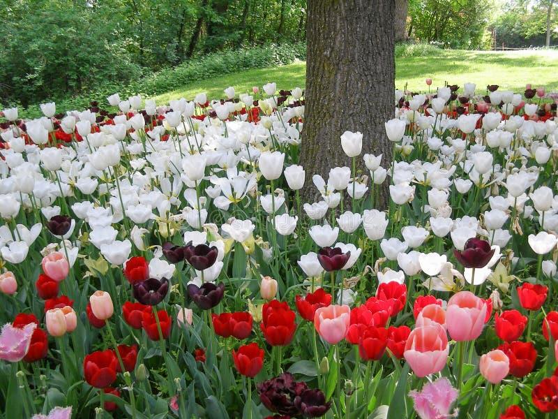 красные белые и фиолетовые тюльпаны цветут стоковая фотография