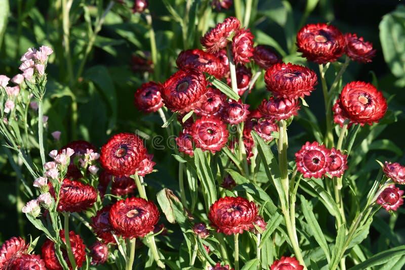 Красные вековечные цветки стоковое фото rf