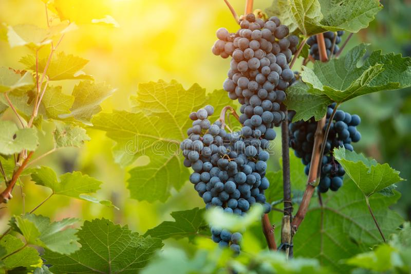 Красные виноградины вина в wineyard, свете захода солнца стоковые изображения