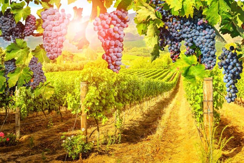 Красные виноградины вися в винограднике стоковые фото