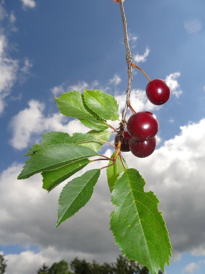 Красные вишни стоковые фотографии rf