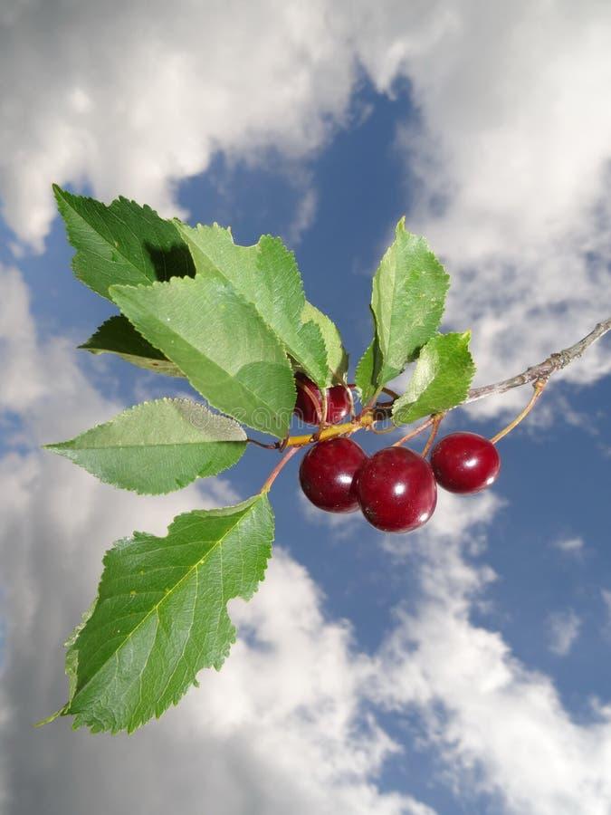 Красные вишни стоковое изображение