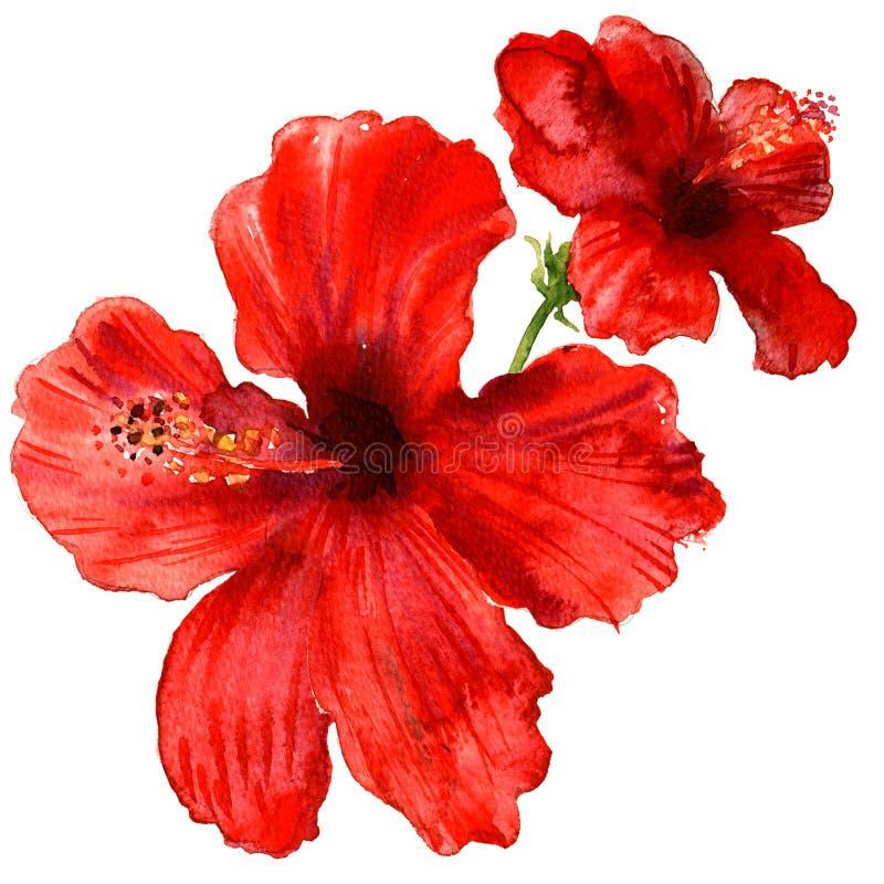 Красные гибискусы цветут, тропические изолированные заводы, иллюстрация акварели на белизне иллюстрация вектора