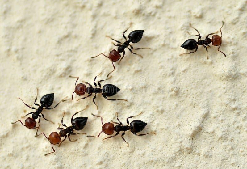 Красные головные муравьи стоковые фотографии rf