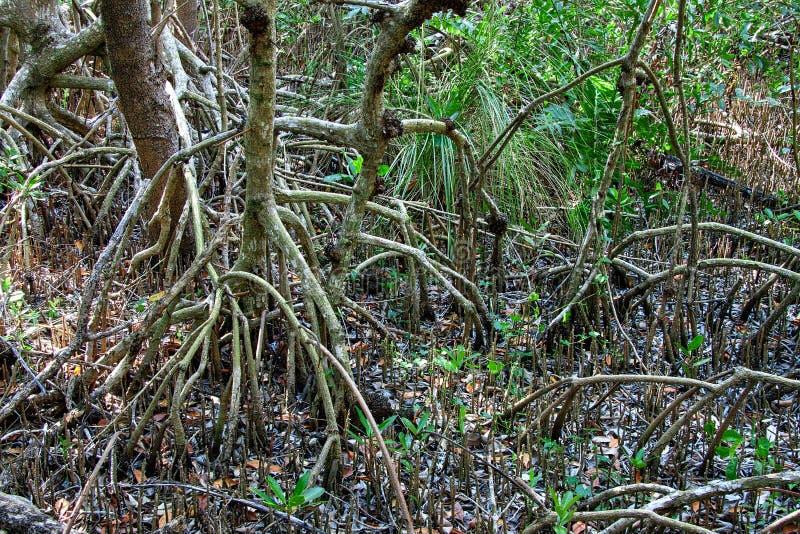 Download Красные деревья мангровы стоковое изображение. изображение насчитывающей река - 41659159