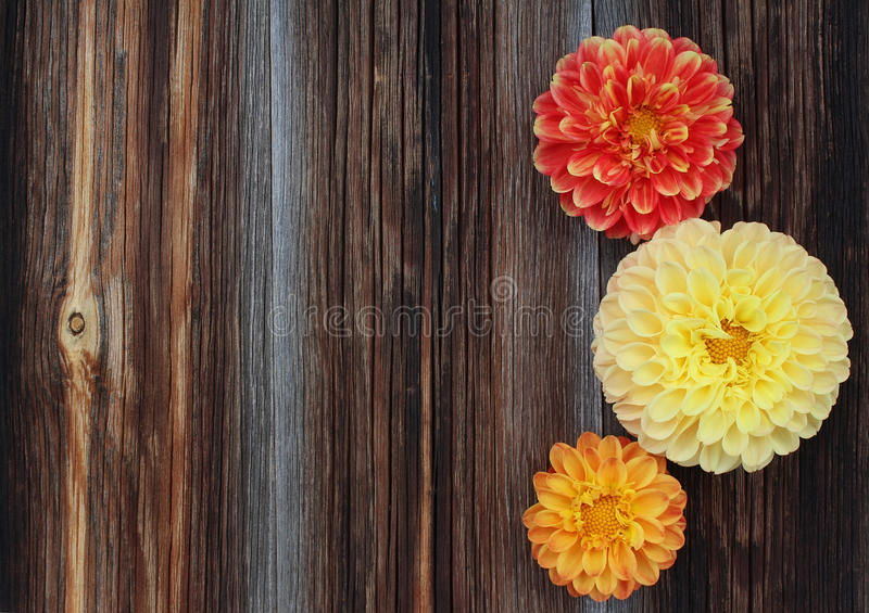Красные, желтые и оранжевые георгины на старой деревянной предпосылке стоковое изображение rf