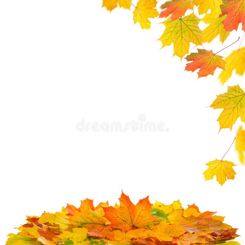 Красные желтые кленовые листы на белой предпосылке желтый цвет вала листьев падения предпосылки осени стоковые фото