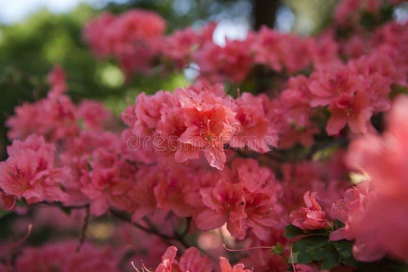 Красные заводы рододендрона в цветени с цветками других цветов Кусты азалии в парке стоковое изображение rf