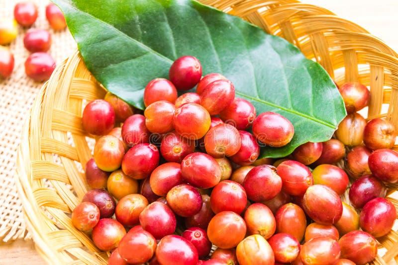 Красные зрелые кофейные зерна стоковое фото rf