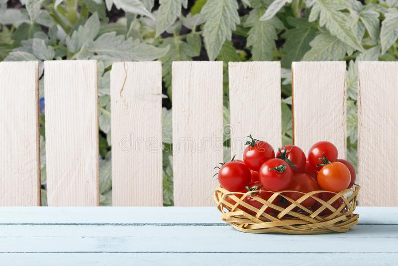Красные зрелые томаты вишни на плетеной корзине в саде Деревянный стол на предпосылке деревянного завода загородки и томата Взгля стоковая фотография rf
