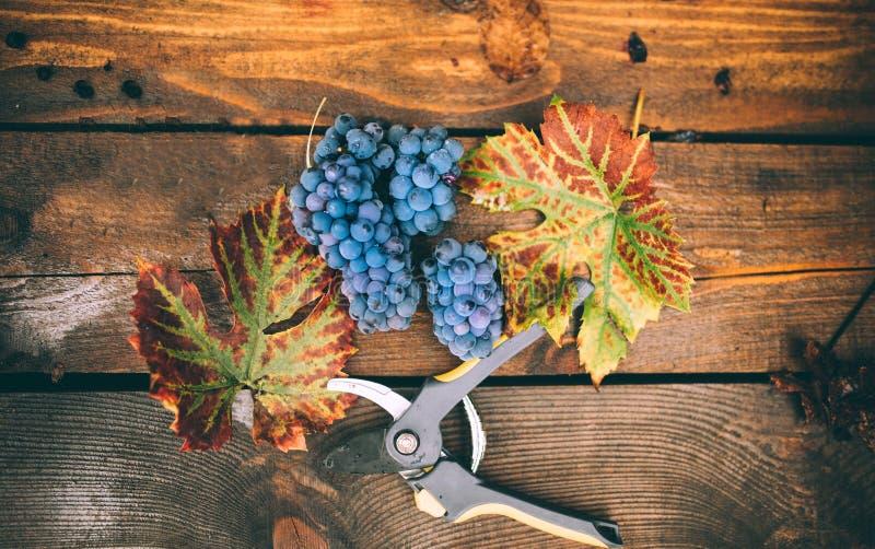 Красные зрелые виноградины на осени жмут, изолированный на деревянной предпосылке с листьями и ножницами стоковые изображения rf