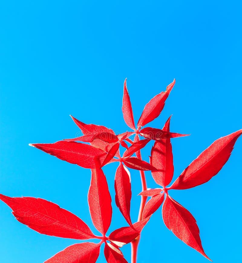 Красные листья осени изолированные на голубой предпосылке стоковое изображение