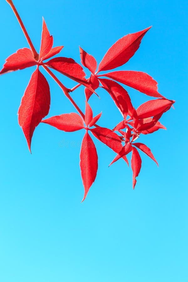 Красные листья осени изолированные на голубой предпосылке стоковые фото