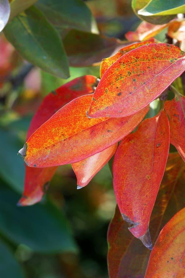 Красные листья осени на ветви стоковое фото rf