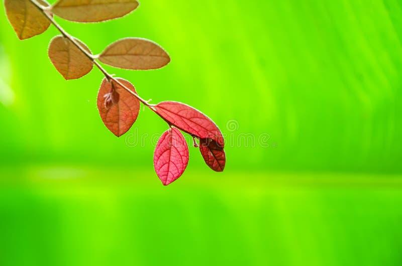 Красные листья стоковая фотография rf