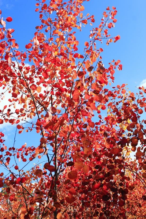 Красные листья asp в осени стоковая фотография
