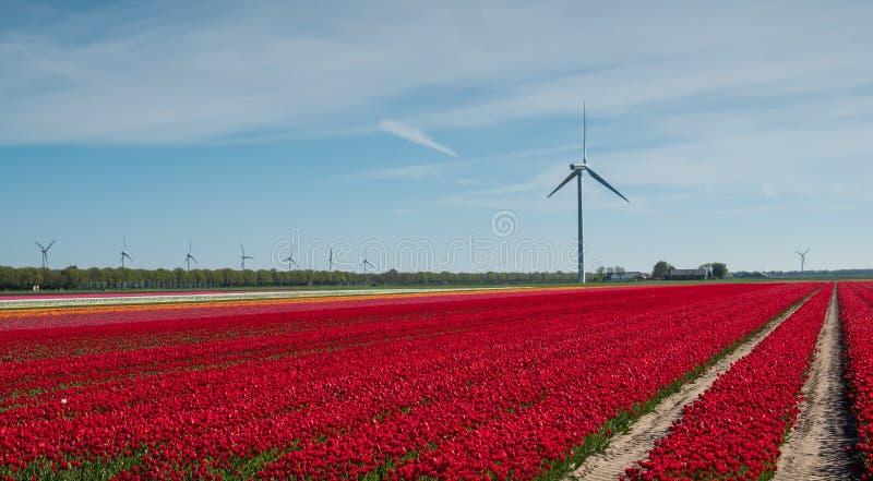 Красные и белые тюльпаны в поле стоковая фотография