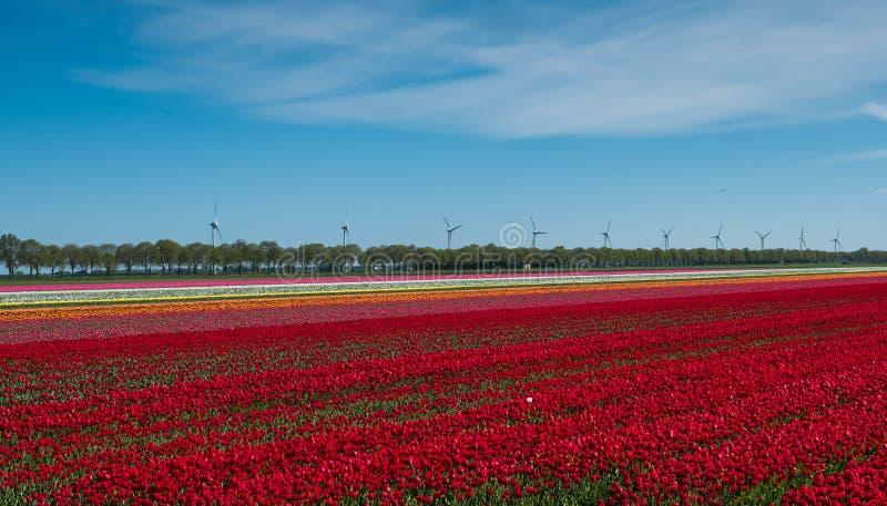 Красные и белые тюльпаны в поле стоковые фото