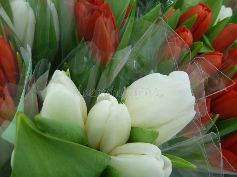 красные и белые тюльпаны с зелеными листьями стоковые фотографии rf