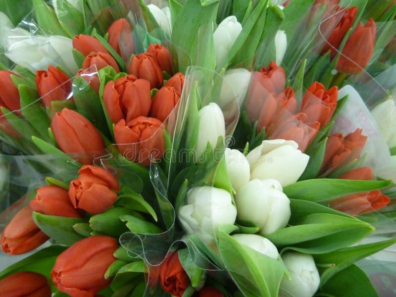 красные и белые тюльпаны с зелеными листьями стоковые фото