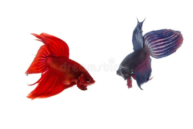 Красные и голубые рыбы betta, сиамские воюя рыбы изолированные на белизне стоковые изображения