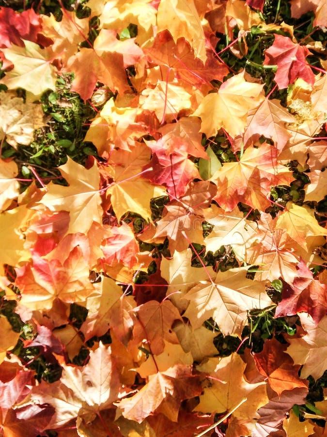 Красные и желтые листья из клена стоковое фото rf