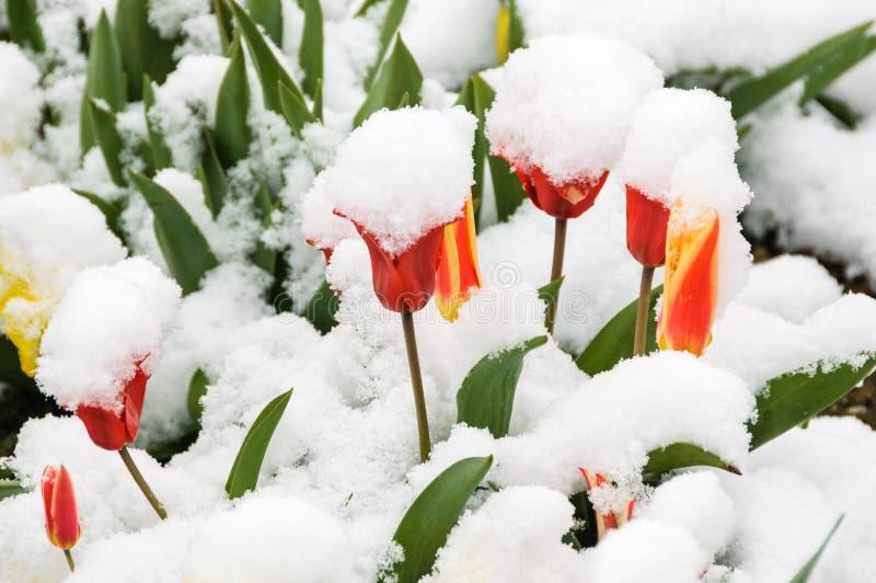 Красные и желтые тюльпаны покрыли со свежим снегом стоковые изображения rf