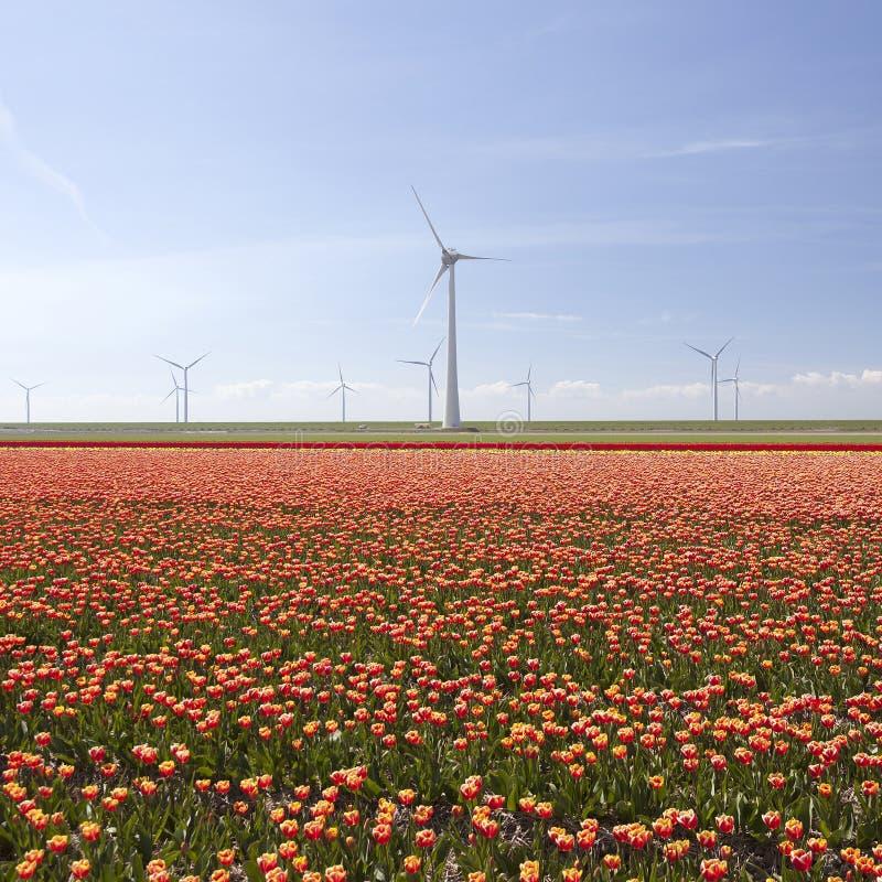Красные и желтые тюльпаны в красочном ландшафте голландского noordoostpo стоковое изображение