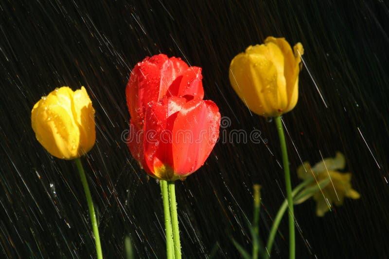 Красные и желтые тюльпаны в дожде стоковое изображение rf
