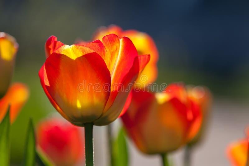 Красные и желтые тюльпаны против солнца, поля цветка tu весны стоковые фото