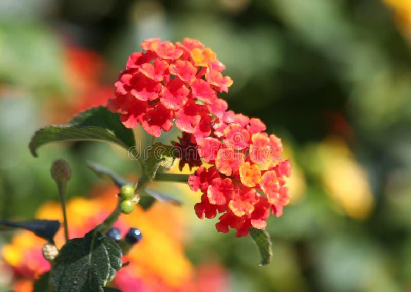 Красные и желтые цветки Lantana стоковая фотография rf