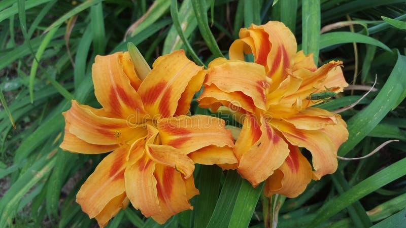 Красные и оранжевые лилии стоковая фотография rf