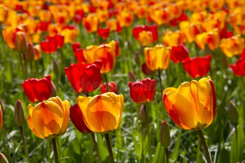 Красные и померанцовые тюльпаны стоковые изображения rf