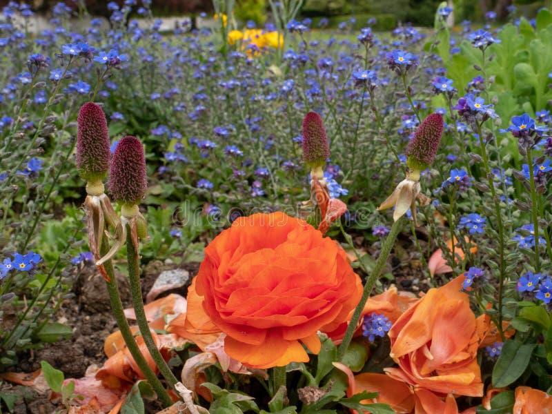 Красные и пурпурные цветки в саде стоковое фото rf
