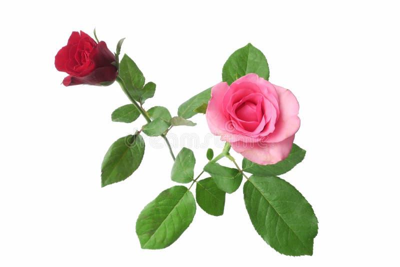 Красные и розовые изолированные розы стоковое фото rf
