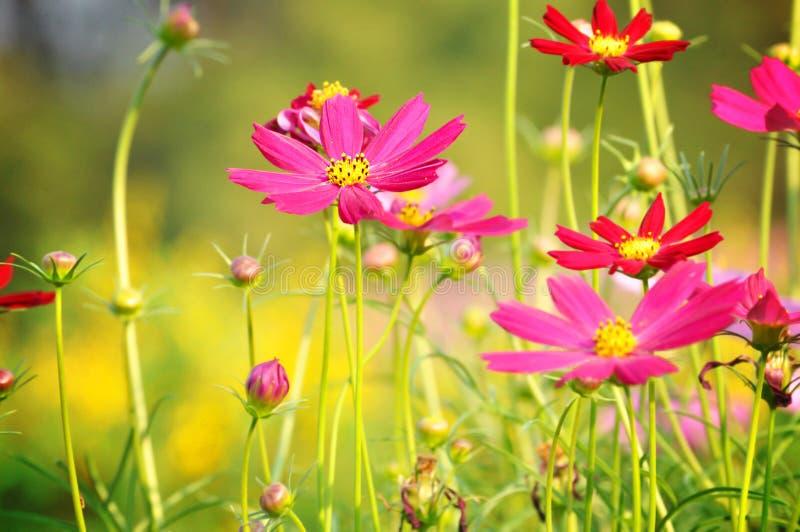 Красные и розовые цветки космоса стоковое фото