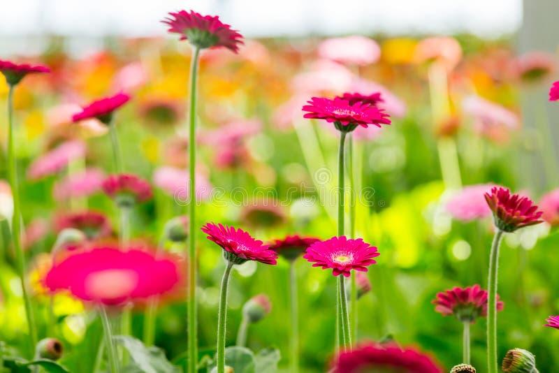 Красные и розовые gerberas растут в современном парнике под искусственным growlight стоковое фото rf