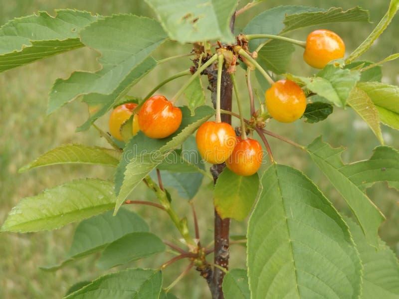 Красные и сладостные вишни на ветви только перед сбором внутри раньше стоковая фотография