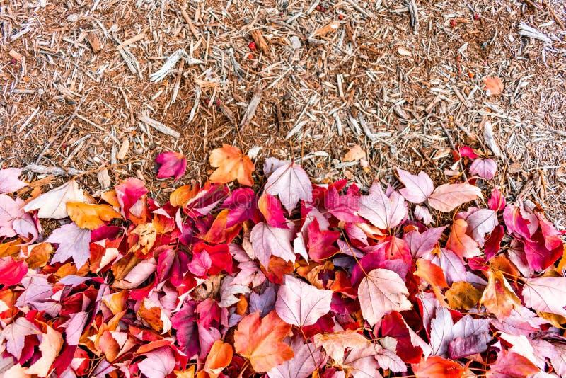Красные кленовые листы осени с древесиной мульчируют стоковые фотографии rf